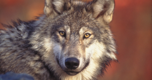 Trump Guts Protections for Gray Wolves in Last-ditch Ploy for Midwest Votes